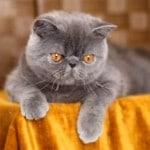 Exotic shorthair : une race de chat à découvrir